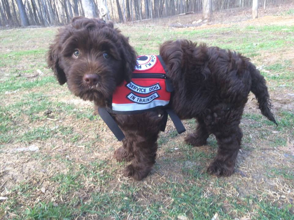Image result for labradoodle service dogs