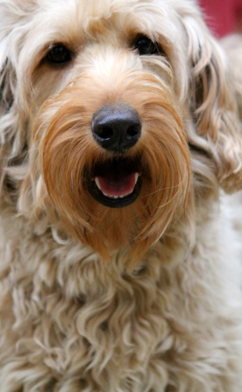 What Is The Best Puppy Food For Labradoodles